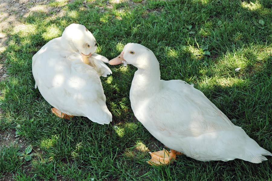 Zwei weiße Enten am Heimbach